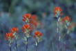 Red Indian paintbrush flowers