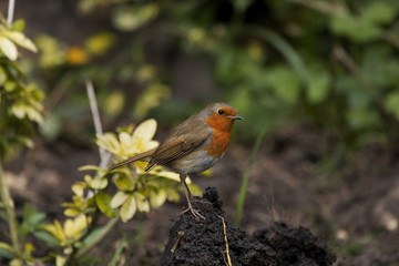 compost robin