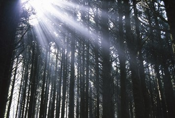 Sunbeams through silhouetted Pine trees