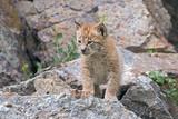 Eurasian Lynx kit poster