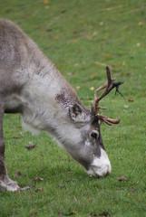 Reindeer - Grazing