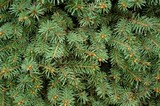 Closeup of evergreen branches poster