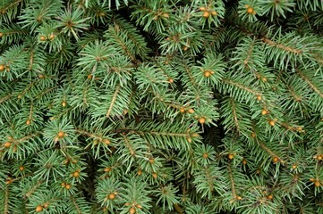 Closeup of evergreen branches