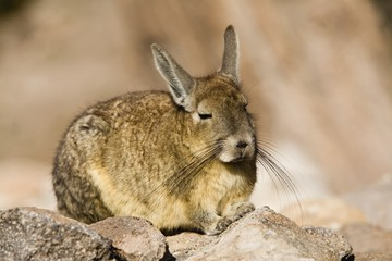 Chinchilla on rock