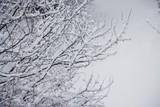 Fresh snowfall on branches poster