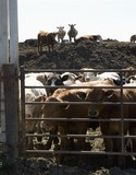 Herd of cattle behind enclosure poster