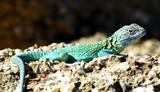 An Eastern collared lizard, Crotaphytus collaris, basking in the sun.. poster