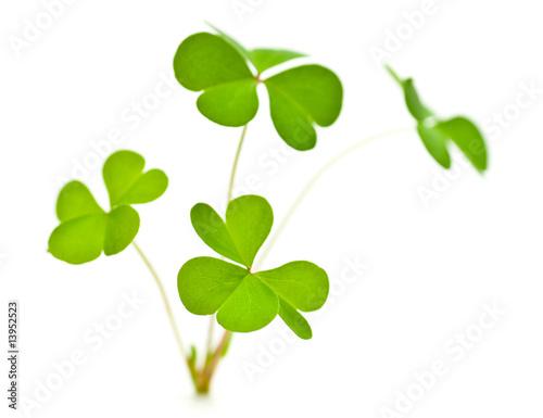 trèfle à 3 feuilles symbole de l'Irlande et de la Saint Patrick