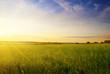field of summer grass and sunset