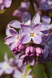 Lilafarbene Blüten - Flieder / Syringa [h]