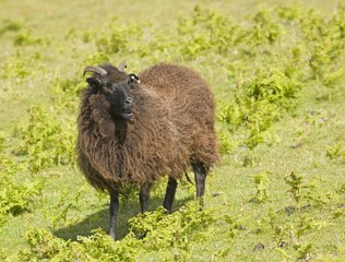 Black sheep (ovis aries)
