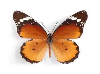 Danaus chrysippus aegyptius