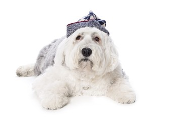 Sheepdog on white background..