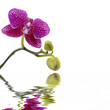 Flowers and bud of an orchid on a branch with reflection