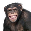 Young Chimpanzee - Simia troglodytes (6 years old)