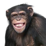 Young Chimpanzee - Simia troglodytes (6 years old)