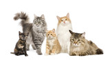 Group of 5 cats in a row : Norwegian, Siberian and persian cat poster