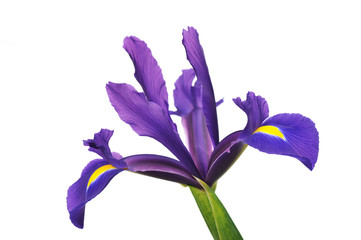 Purple Dutch Iris isolated on white background
