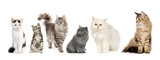 Group of cats in a row : Norwegian, Siberian and persian cat poster