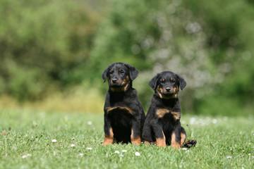 deux petits beaucerons assis de face l'un contre l'autre