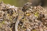 Great Basin collared lizard (Crotaphytus bicinctores) poster