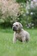 pose immobile du chiot cane corso dans le jardin