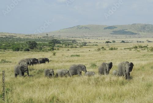 Fototapeta African Bush Elephant (Loxodonta africana) at Masai Mara, Kenya