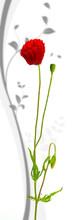Conception florale - un coquelicot sur fond blanc