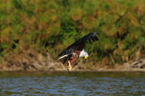 African Fish Eagle with trophy at lake Naivasha, Kenya