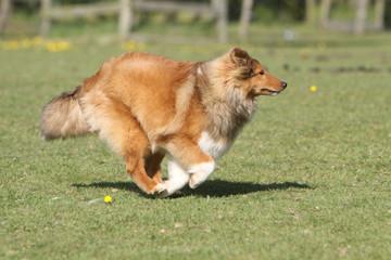 shetland en train de courir sur une surface herbeuse. vitesse