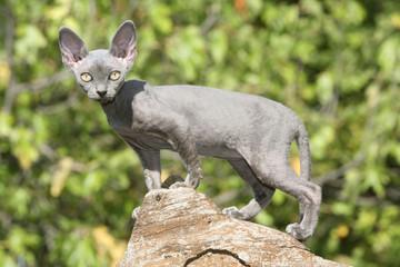 chaton de race rex devon de profil sur un tronc - extérieur