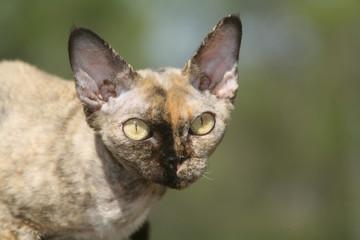tête de profil d'un chat rex devon,à l'air étrange et inquiétant