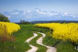 Fototapety Rapsfeld vor Alpen