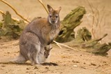 Bennet-wallabie