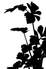 silhouette de céleri