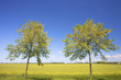 Two trees stading in front of a fresh yellow field of rapeseed