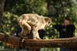 Fototapeta Wznoszenia - Zoologicznych - Dziki Ssak