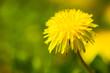 Dandelion weed closeup