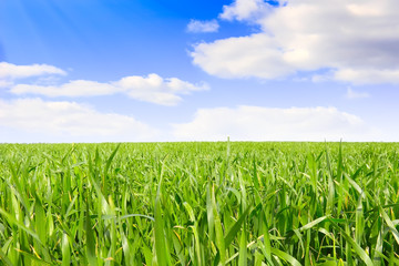 Beautiful landscape-green grass, the blue sky and white clouds.
