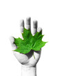 ecology concept. green maple leaf in a hand