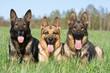 three German sheep-dogs