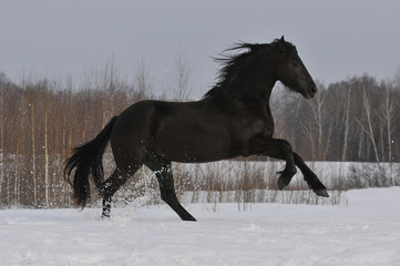 black horse running gallop on the snow