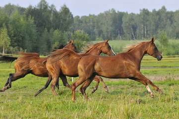 Three horses run gallop