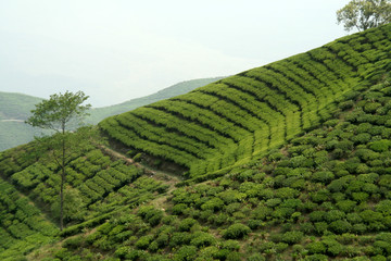 Beautiful pattern of bright, green tea garden on sloppy hill