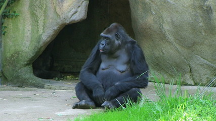 Embarrassed Gorilla