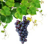 Grapevine with blue grape , isolated