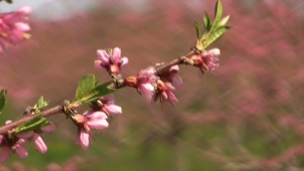 Pink peach blossoms in a gentle breeze