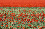 Tulipfield in the Netherlands withabundance of red tulips