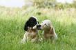 deux chiots setter anglais se faisant un bisou en campagne