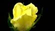 rose_gelb_loop_01